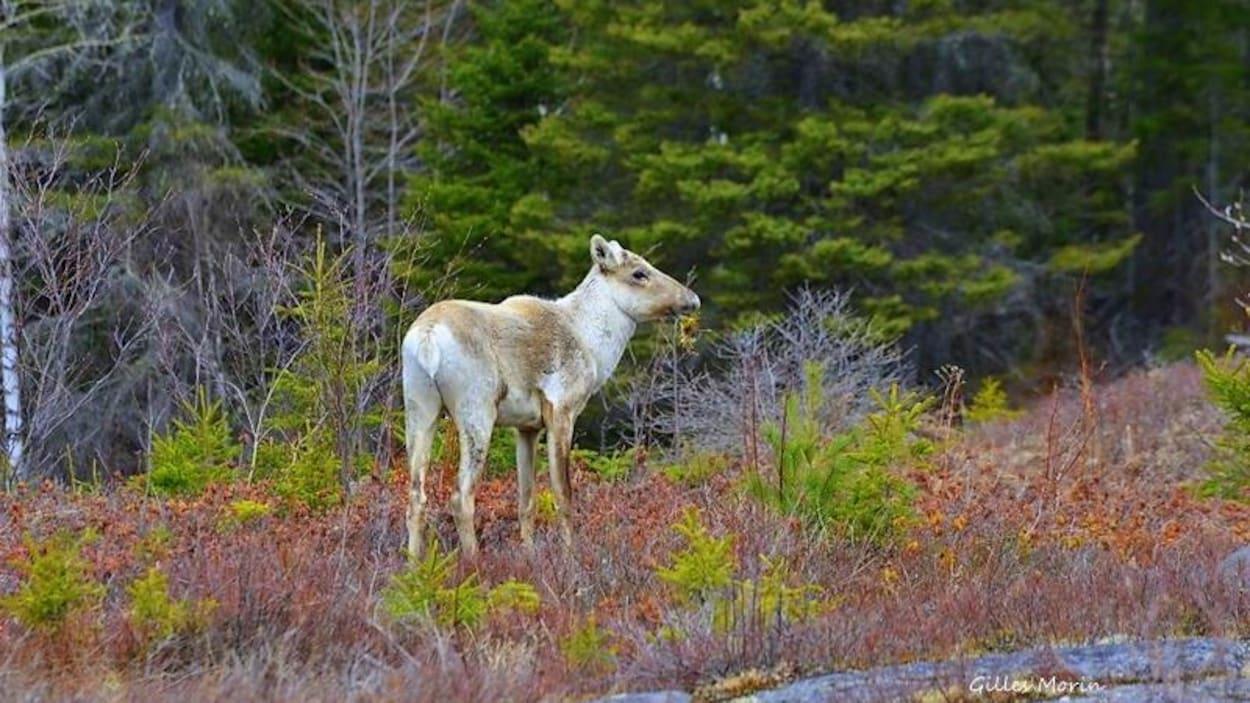 Un caribou forestier.