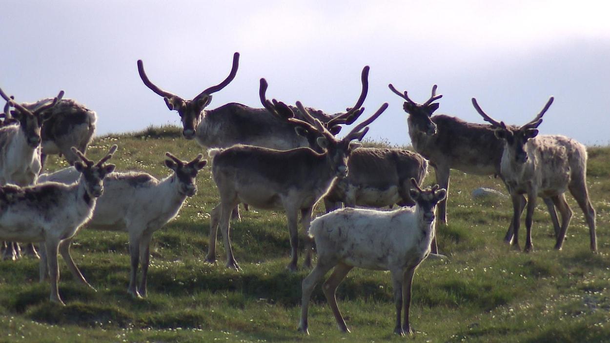 Des caribous forestiers se trouvent dans un champ.