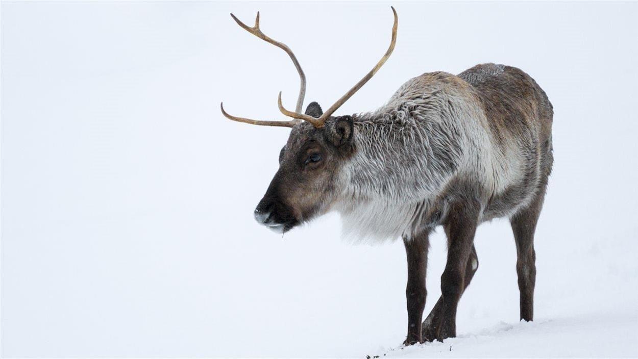 La population de caribous est en déclin dans le Grand Nord canadien.