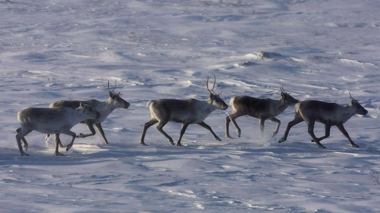 Des caribous sauvages errent dans la toundra du Nunavut. La harde de caribous de la Porcupine, connue pour ses migrations annuelles épiques entre les Territoires du Nord-Ouest et l'Alaska, est en plein essor après une décennie de déclin.