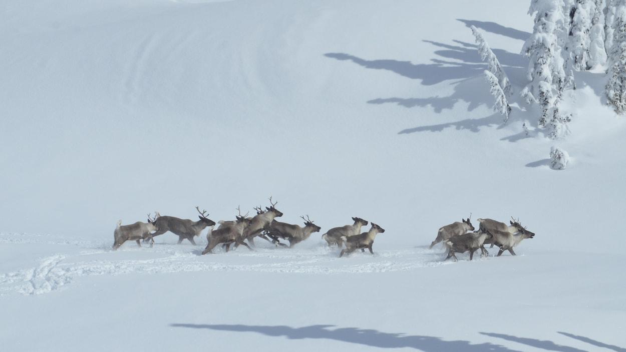 Un troupeau de caribous traversent une plaine enneigée.