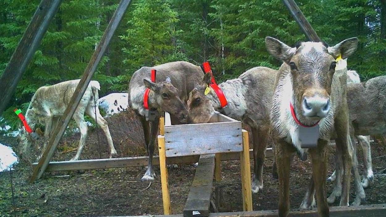 Des caribous dans un enclose se nourrissent dans un bac de bois.