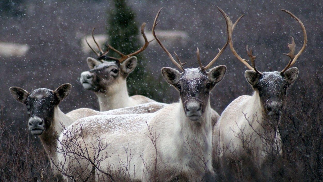 CaribousLes hardes de caribous chutent dramatiquement depuis de nombreuses années.