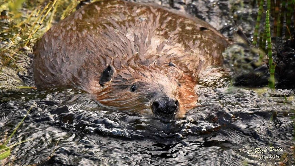 Un castor flotte dans l'eau.