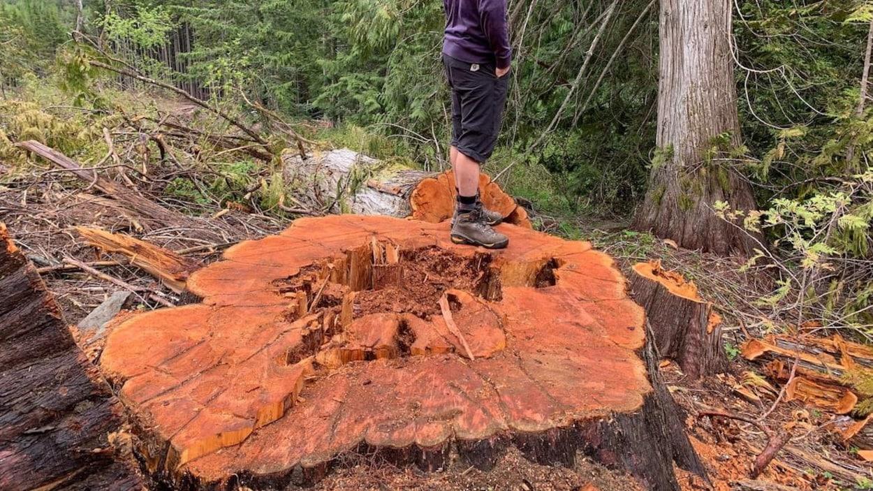 Un homme se tient debout sur la souche fraîchement coupée d'un cèdre pluricentenaire.