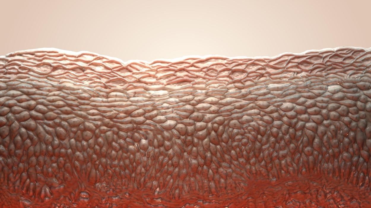 Représentation des couches de cellules constituant la peau (coupe transversale).