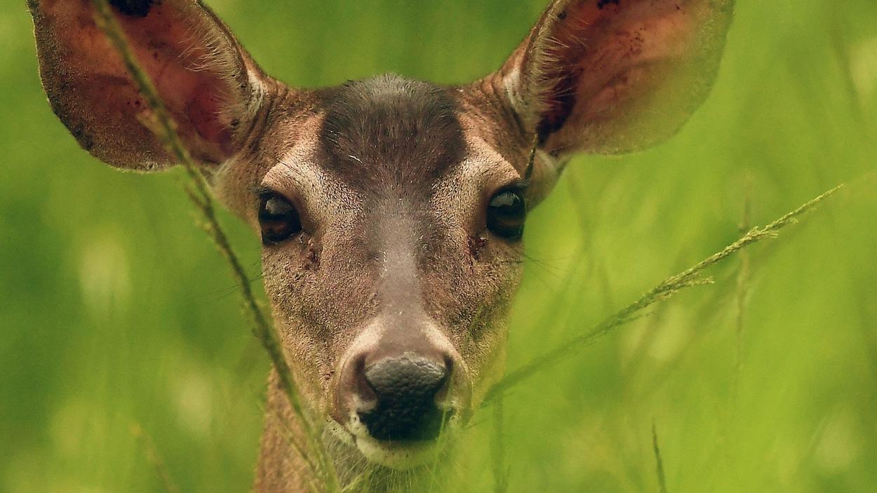 Un cerf de Virginie en gros plan, sa tête émergeant des hautes herbes.