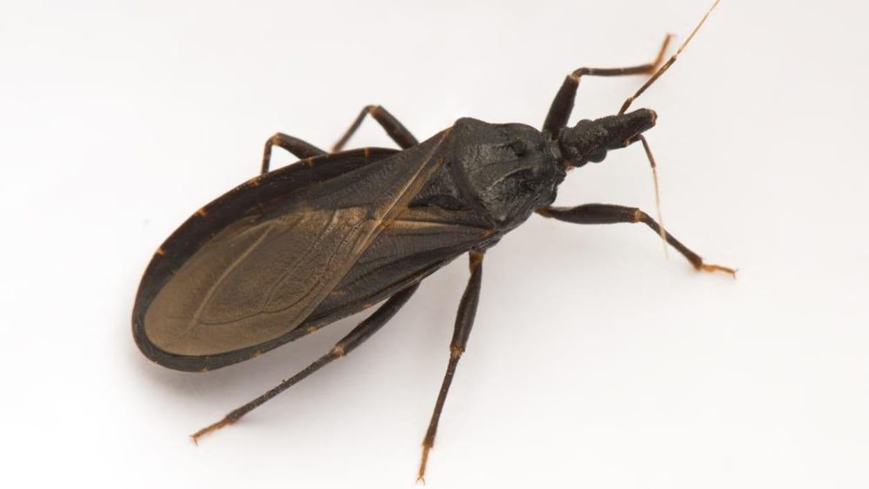 Trypanosoma cruzi, punaise