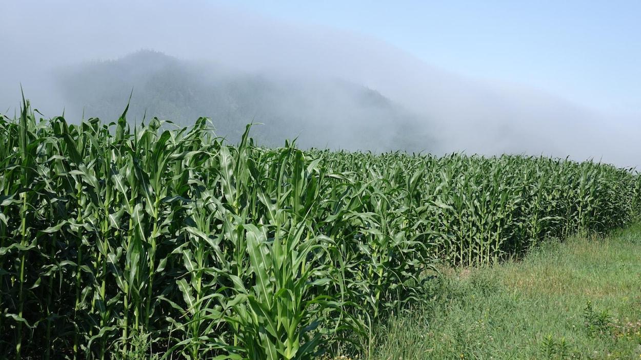 Un champ de maïs