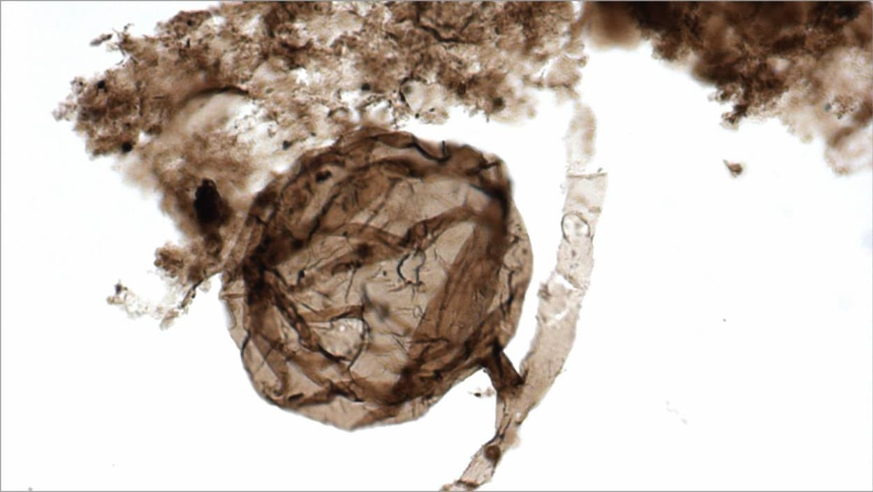 Un spécimen Ourasphaira giraldae.
