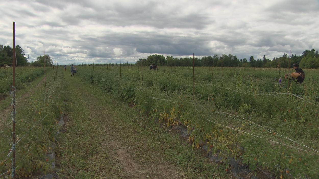Des gens cueilelnts des fruits dans un champs.