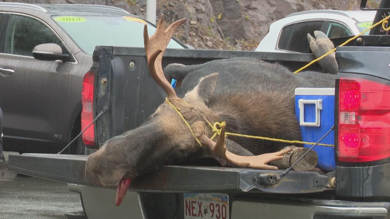 Un orignal est solidement attaché dans le coffre d'un camion.