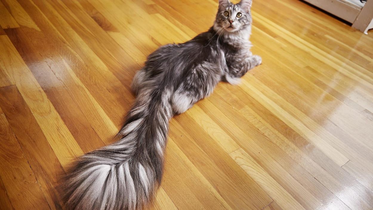 Un chat est couché sur le plancher, sa longue queue derrière lui.