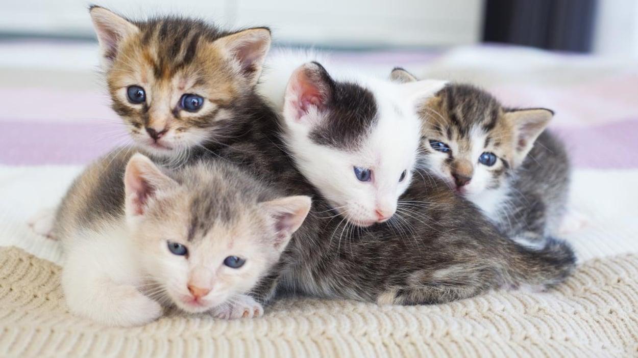 Quatre chatons se serrant sur une couverture.