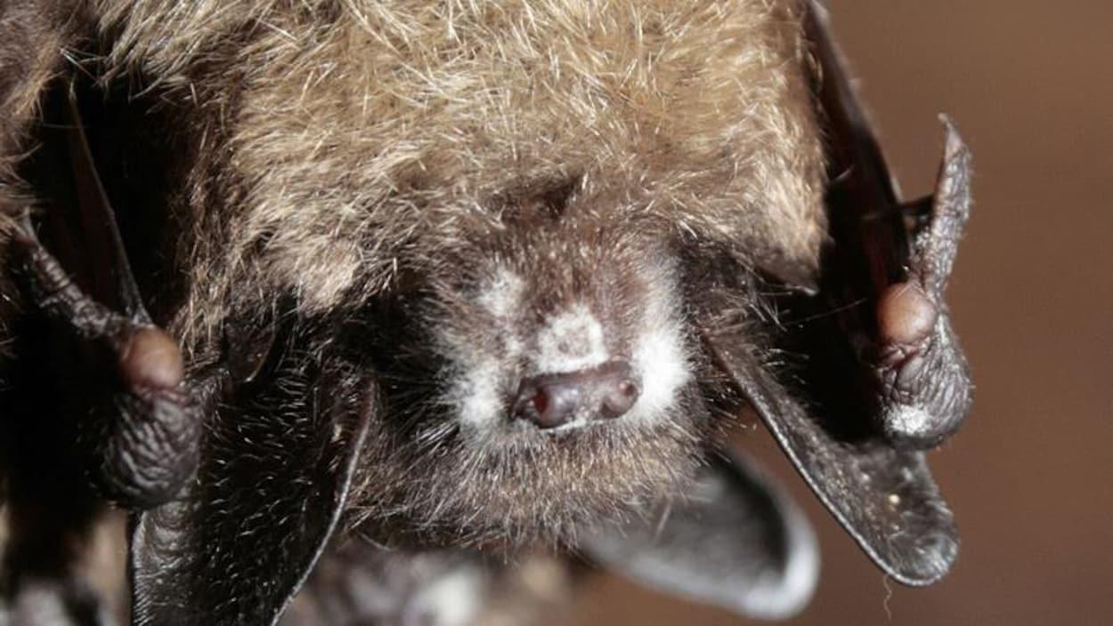 On voit la croissance fongique blanche sur le museau d'une petite chauve-souris brune suspendue la tête en bas.