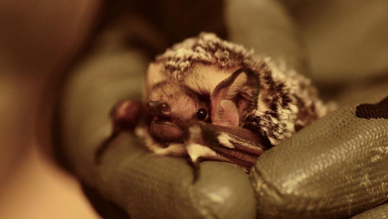 Une chauve-souris est tenue entre les doigts d'une main portant un gant de caoutchouc.