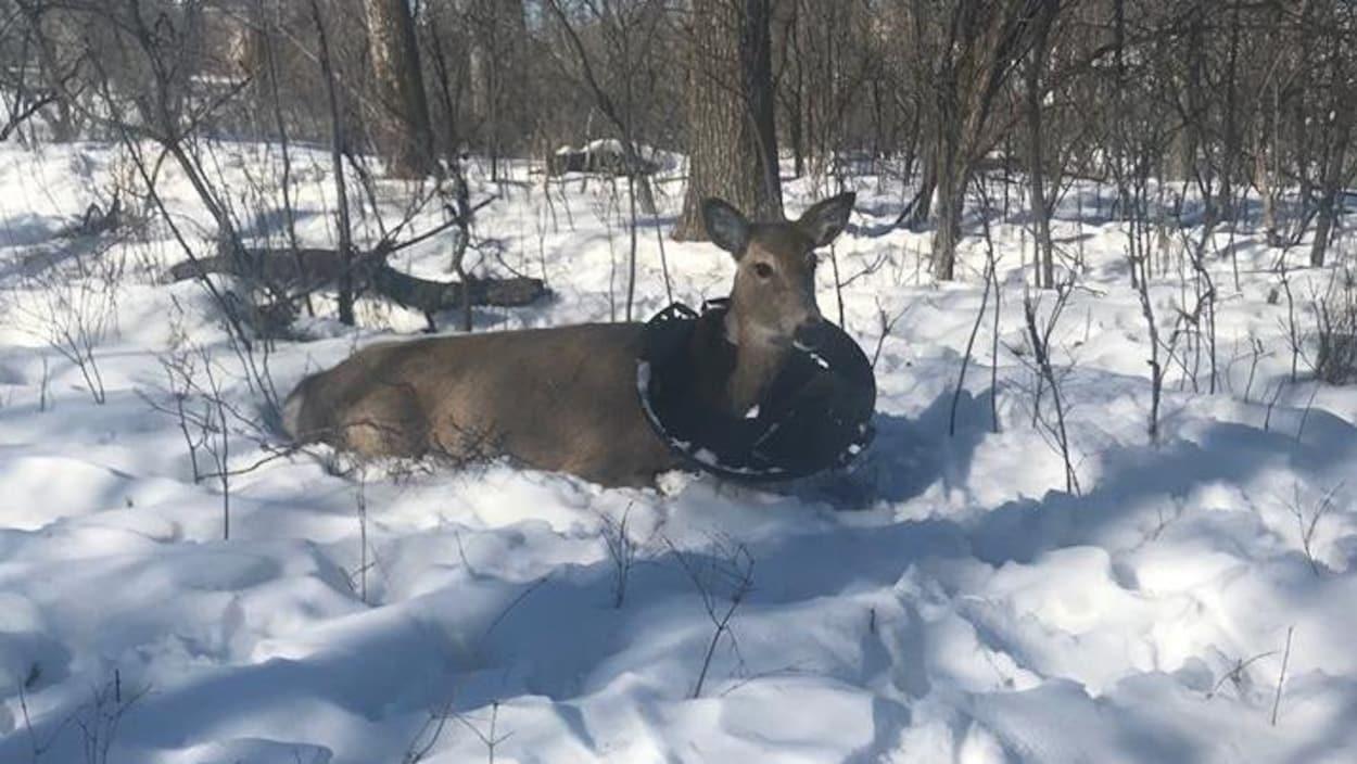 Un chevreuil est couché dans la neige, avec le couvercle de plastique d'une poubelle autour du cou.