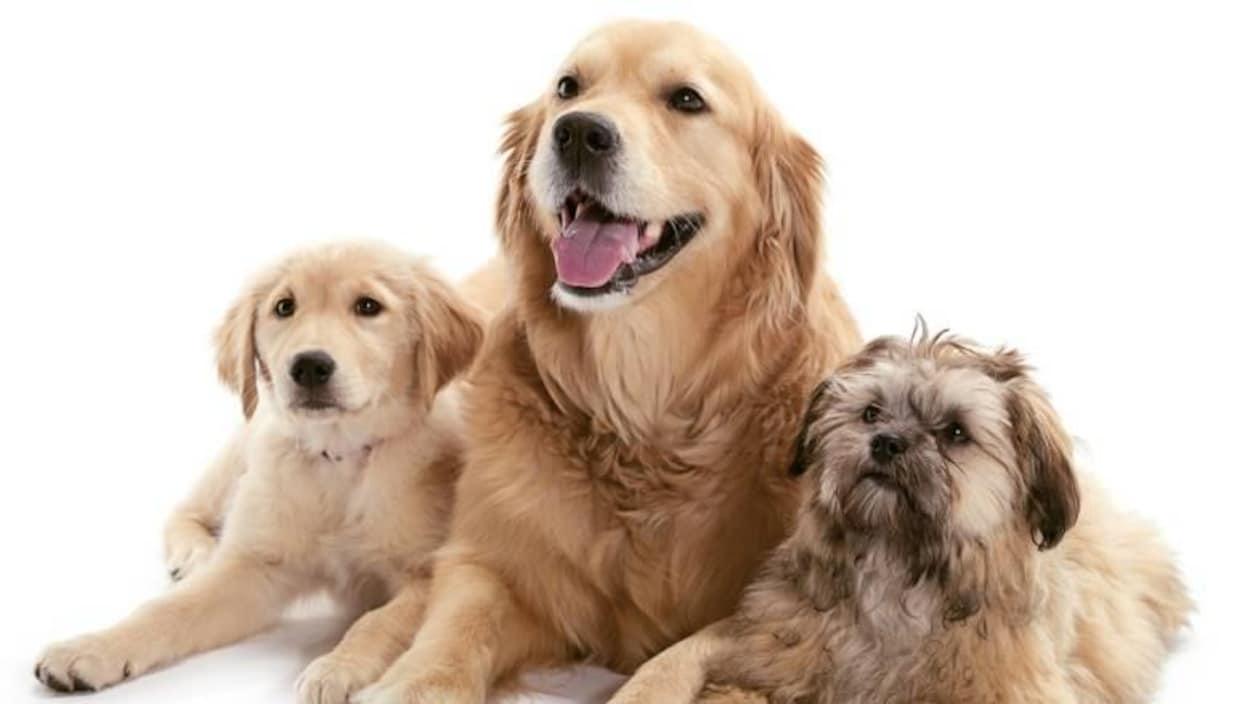 On voit trois types de golden retriever deux petits et un grand au milieu. Ils sont tous les trois de couleur beige.