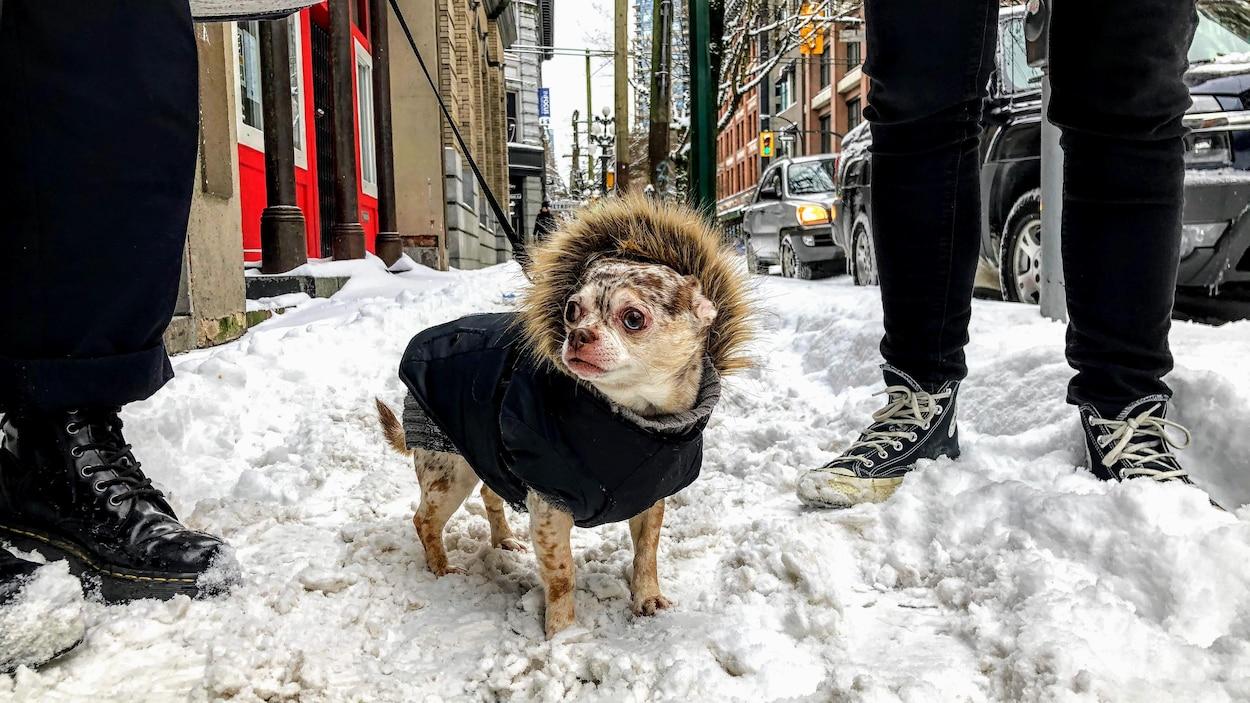 Un petit chien dans un manteau se promène dans la neige au centre-ville de Vancouver.