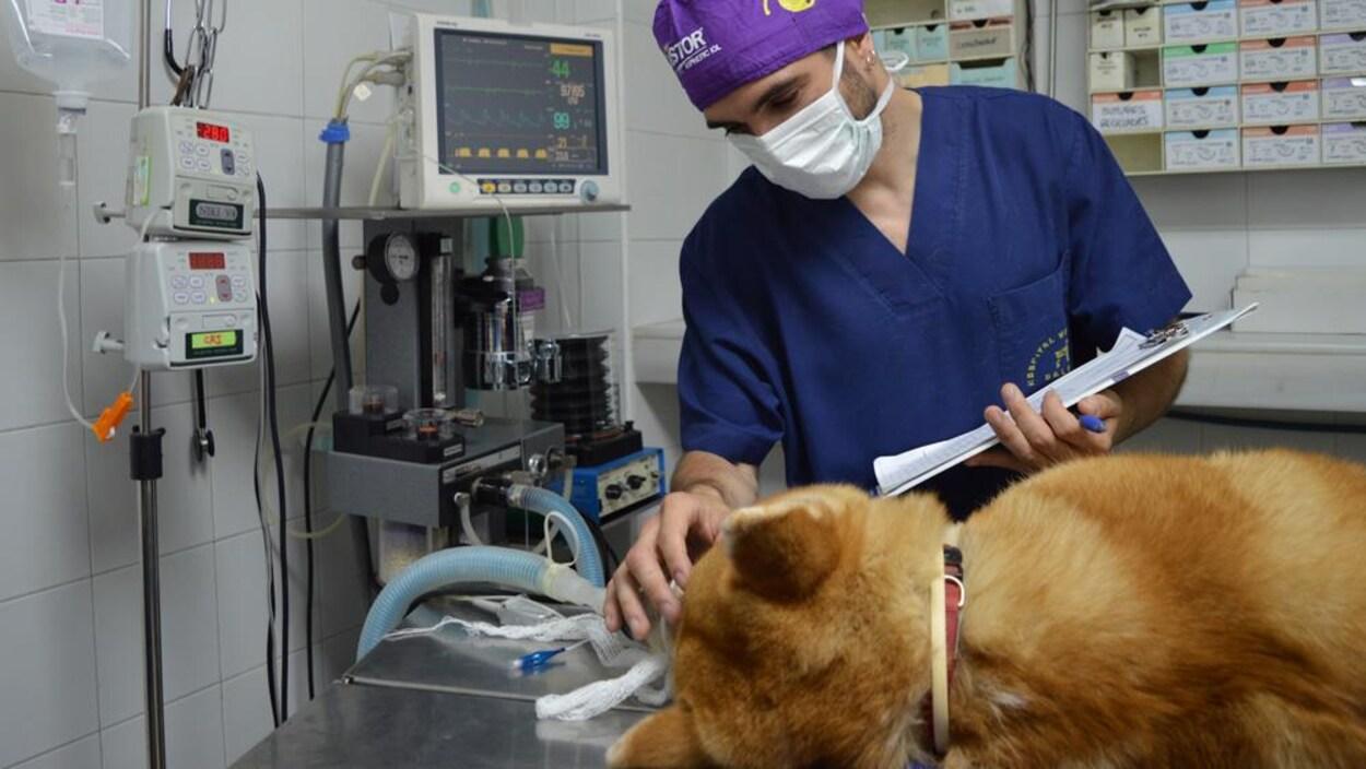 Un chien branché sur un respirateur.