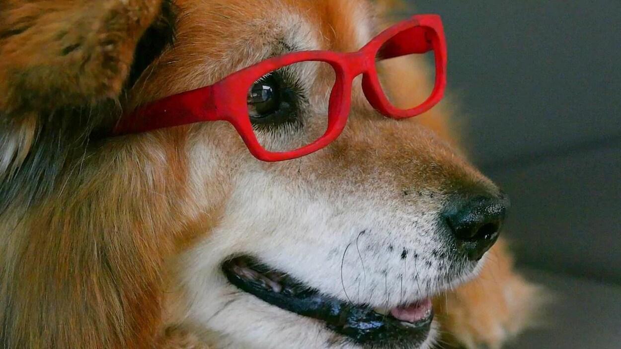 Le chien Rusty arborant les lunettes rouges qui sont sa marque de commerce regarde au loin la gueule légèrement ouverte.