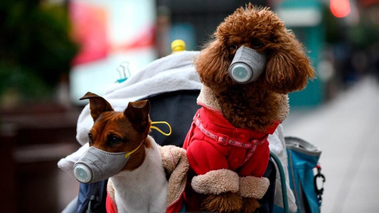 Deux petits chiens bruns portent un masque bleu sur le museau.