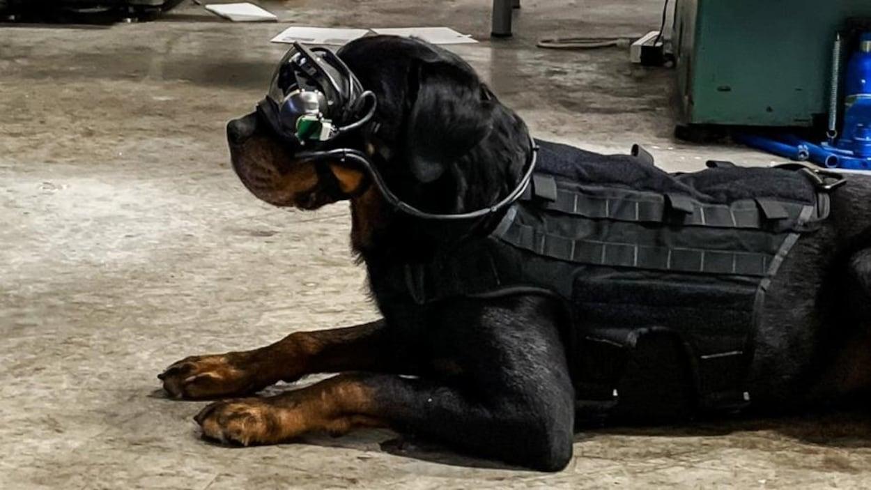 Un chien muni de lunettes de réalité augmentée est couché au sol.