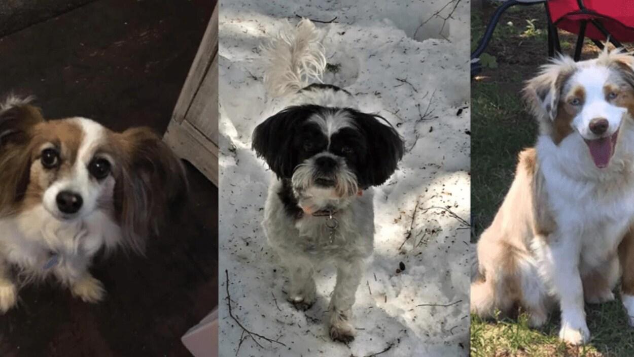 Trois photos montrent les chiens victimes des algues bleu-vert.