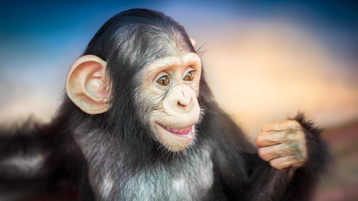 Un jeune chimpanzé.