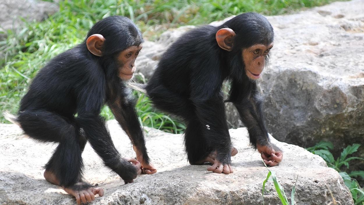 Deux jeunes chimpanzés