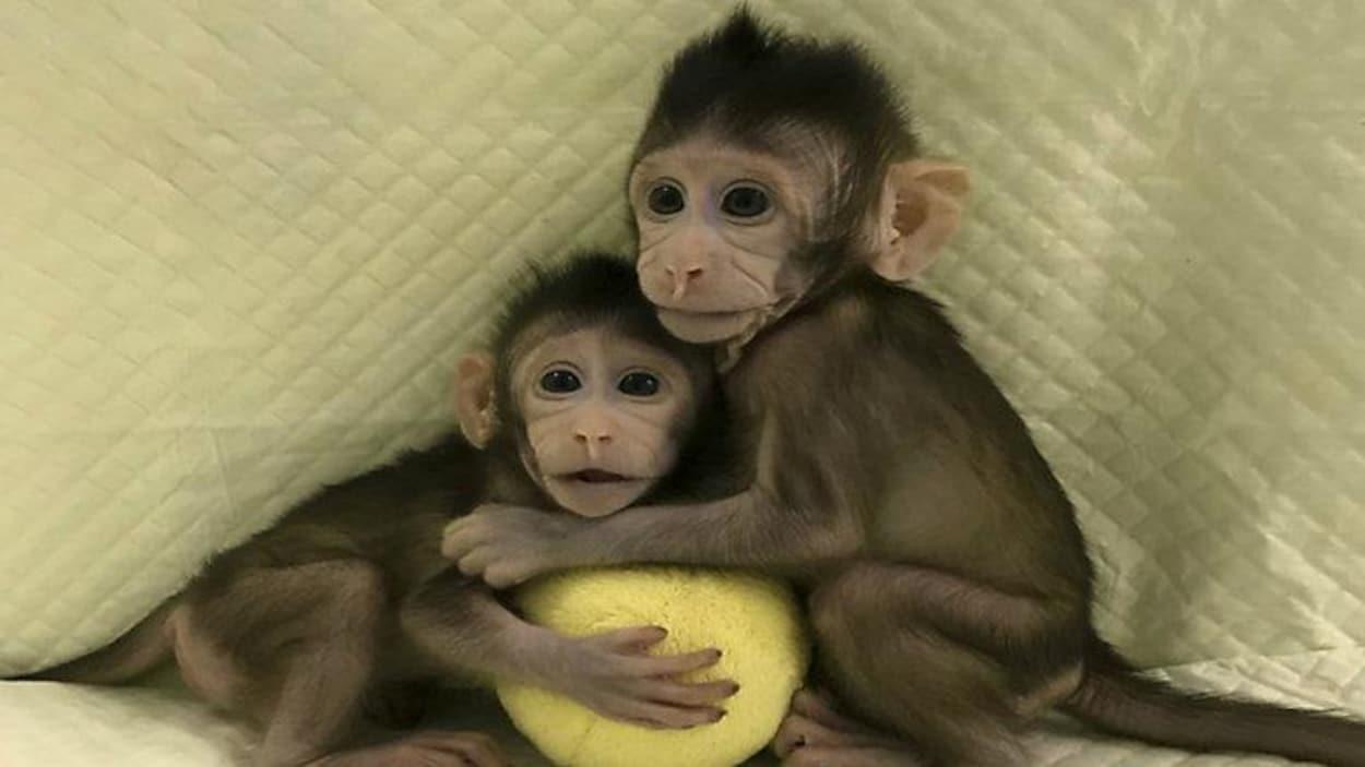 Les deux petites femelles, Zhong Zhong et Hua Hua, sont âgées de sept ou huit semaines.