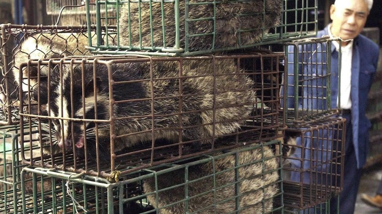 Un homme observe trois civettes dans des cages.