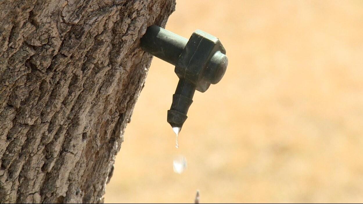 Sève coule du robinet d'un érable manitobain fraîchement entaillé