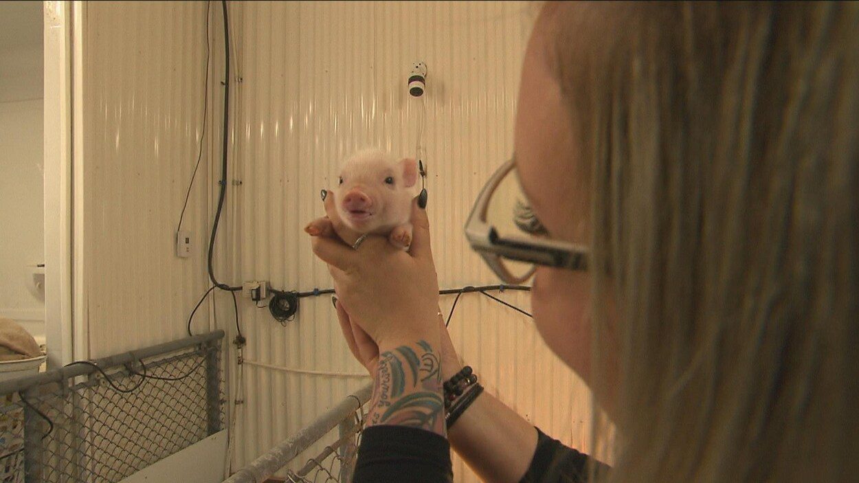 Une femme tient un cochon miniature dans ses mains.