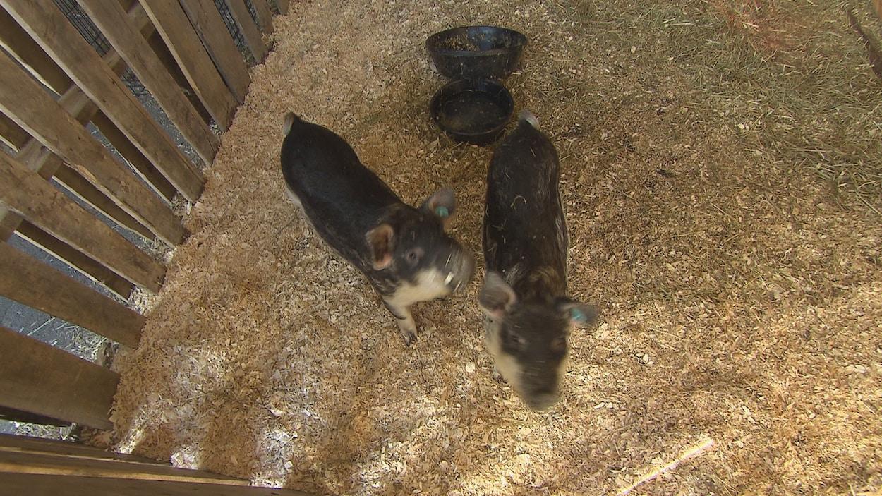 Deux petits cochons dans un enclos
