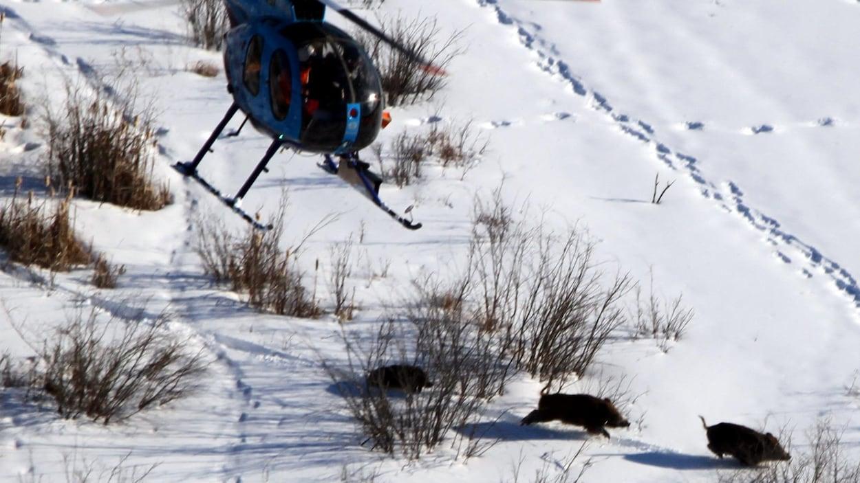 Vue aérienne de cochons qui courent dans la neige. Un hélicoptère les poursuit.