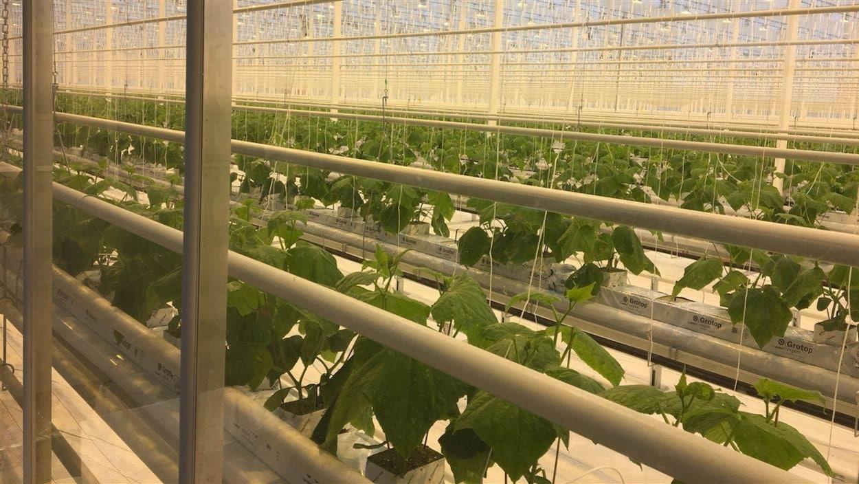 Les premiers plants de concombres des Serres Toundra, de Saint-Félicien