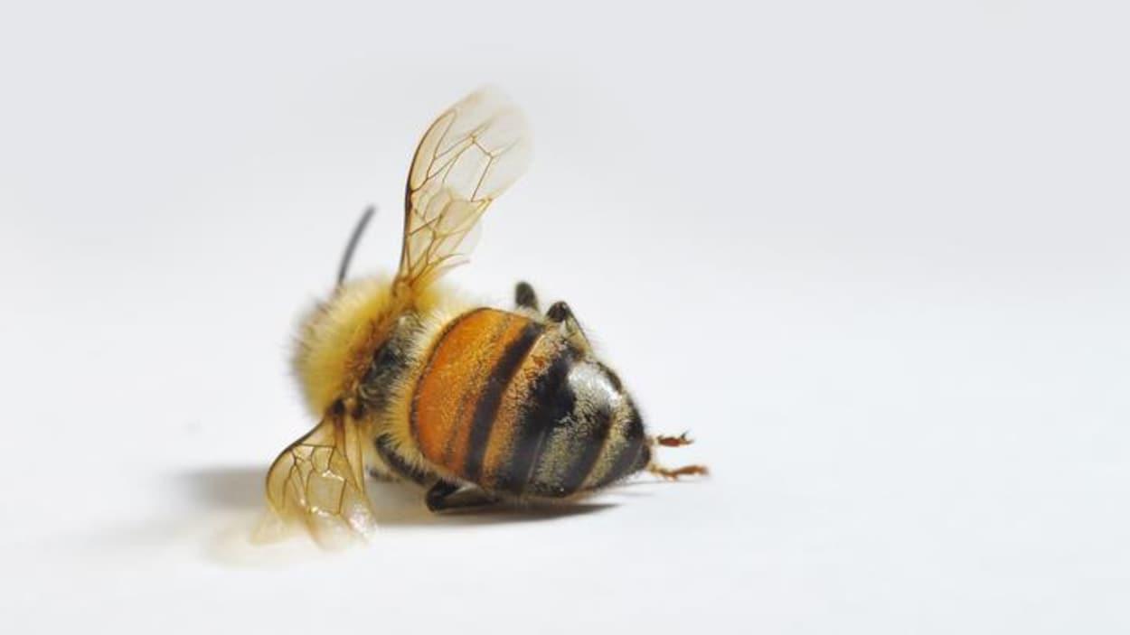 L'Association des apiculteurs de l'Ontario rapporte qu'entre 50 et 80 % des abeilles sont mortes ce printemps.