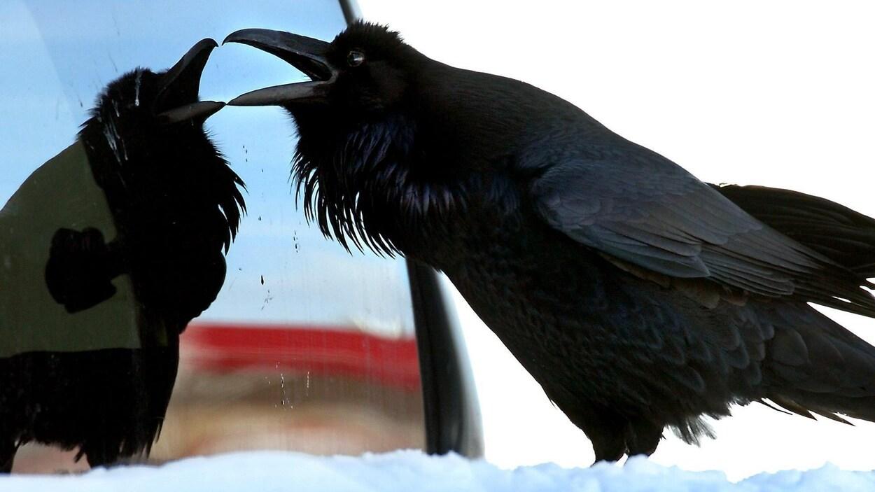 Un corbeau observe sa rélexion dans une vitre.