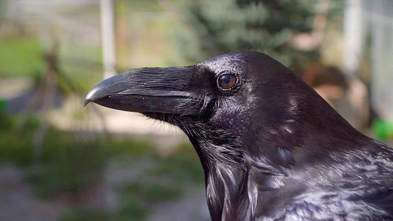 Gros plan sur la tête d'un grand corbeau.