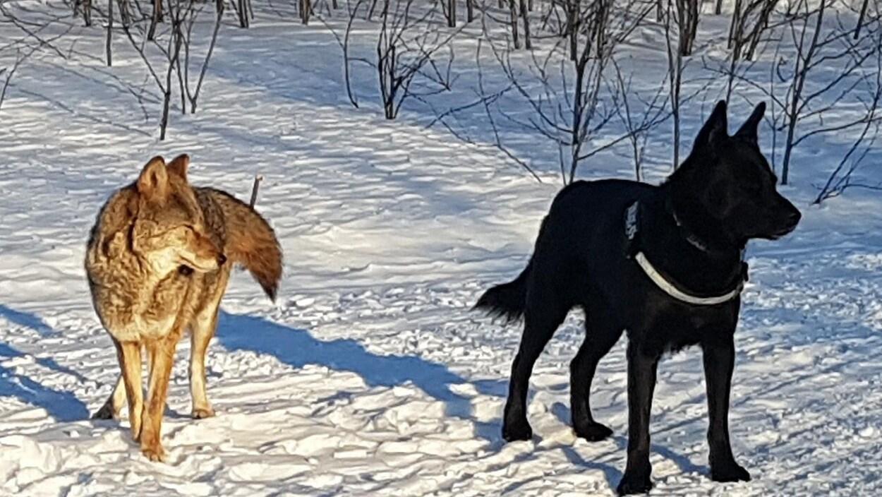 « Miss Coyote » était très familière avec le chien de Mark Lagace, Rocky.