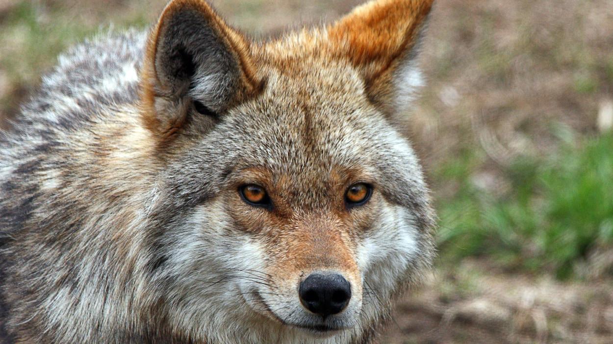 La face d'un coyote.