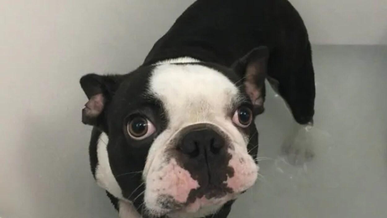 Hank, un chien bulldog.