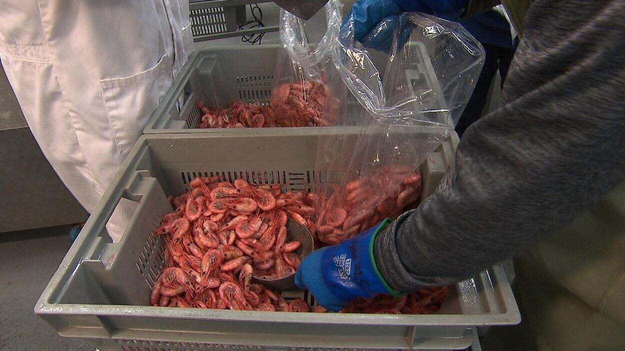 Un employé transfère des crevettes cuites dans des sacs en plastique