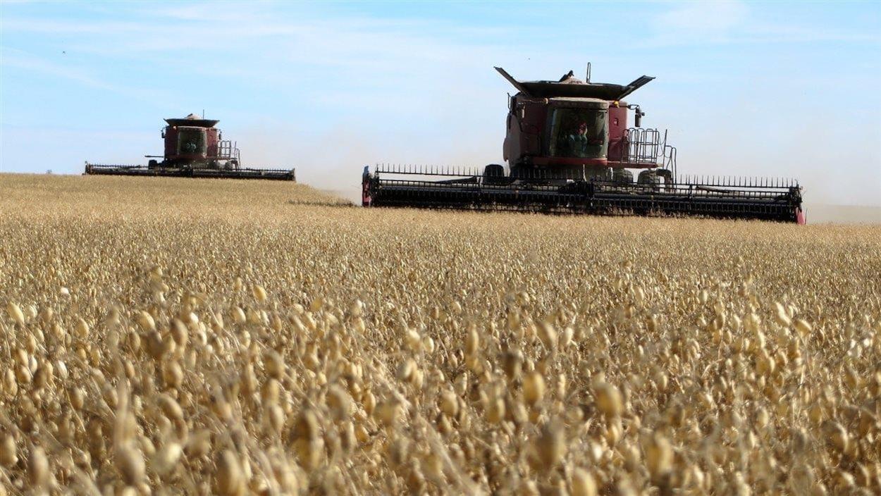 Un champ de blé en Saskatchewan.