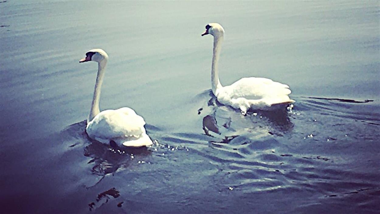 Deux cygnes voguent tranquillement sur le canal Rideau