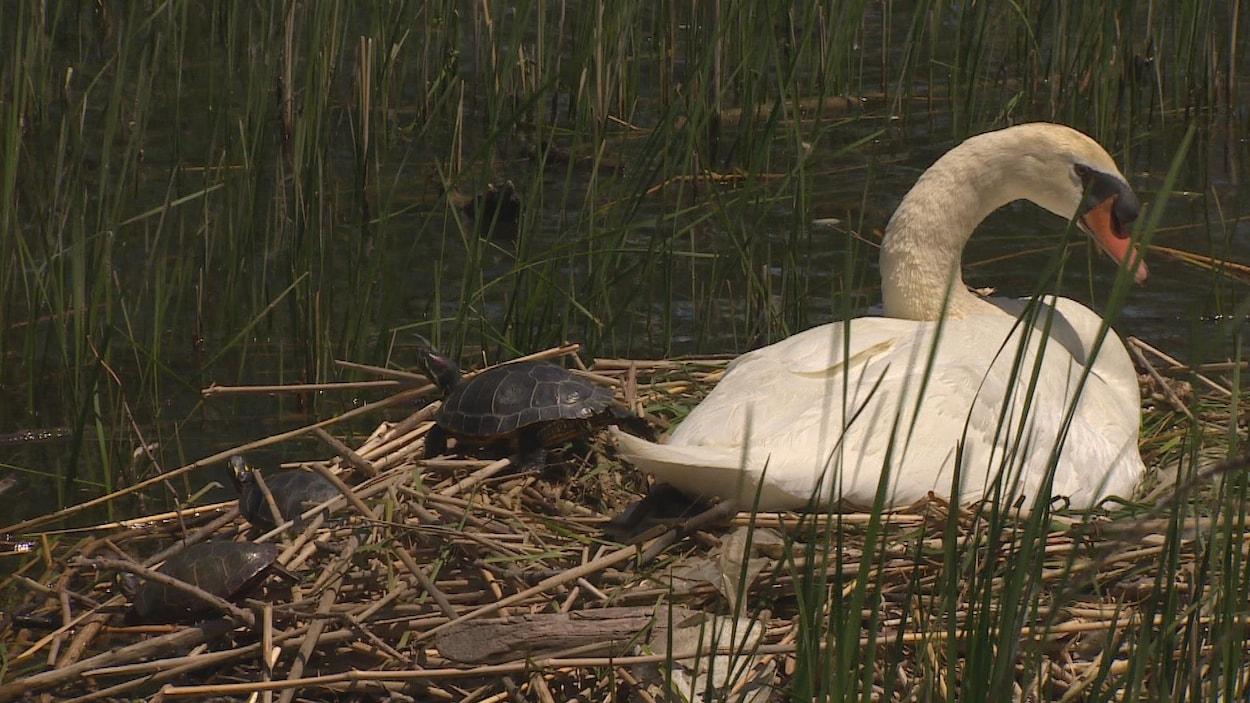 Un cygne et des tortues à Hamilton, en Ontario