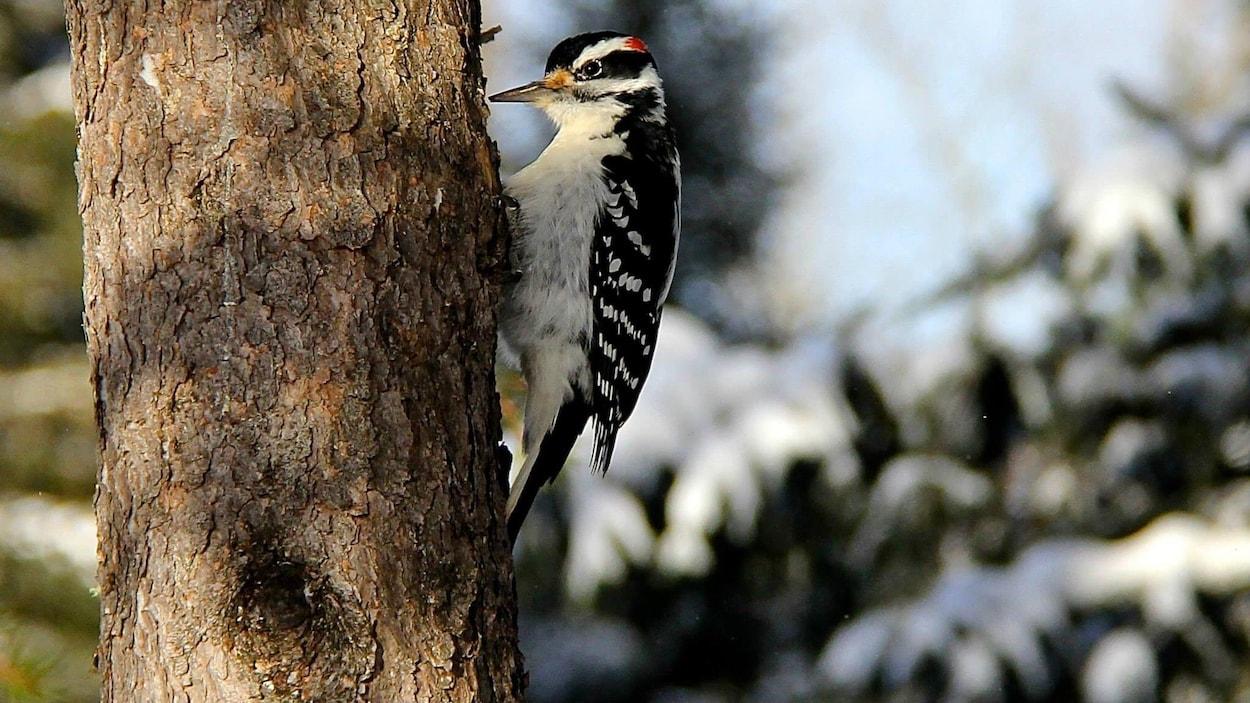 L'oiseau posé sur un tronc pique un arbre avec son bec.