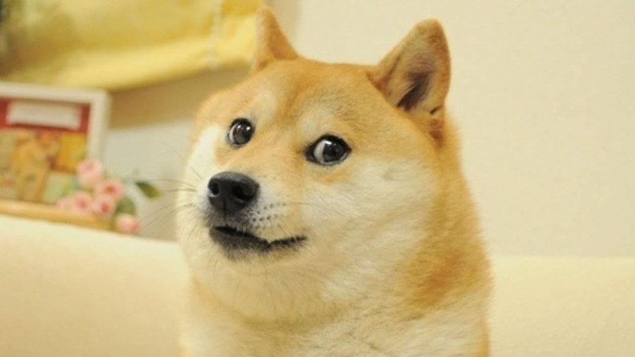 Un chien de race shiba inu.