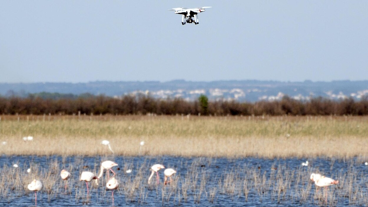 Un drone survole un groupe de flamants roses en Camargue, en France.